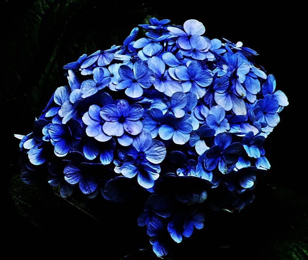 Hortensia - Kembang Bokor